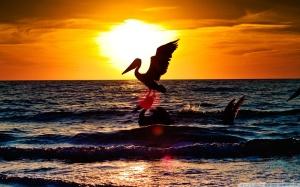 pelican sun