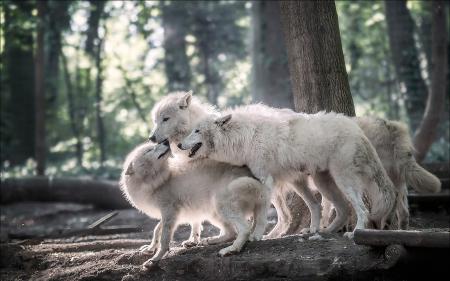 whitewolfpack